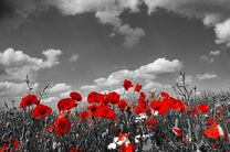 poppy_image.jpg